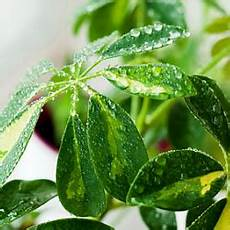 schefflera arboricola strahlenaralie standort pflege
