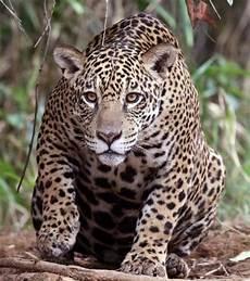 sur la terre des jaguars f 233 news photos vid 233 os