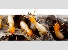 Pest Control For Bed Bugs-Local Exterminators For Bed Bugs