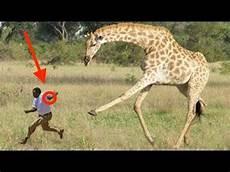 die giraffe when giraffes attack