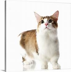 Katze Mit Kurzen Beinen - cat with legs photo canvas print great big canvas