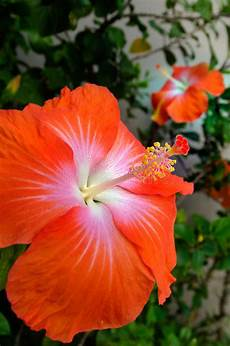hibiscus tropical flower stock photo image of leaf bloom