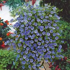 Blaue Mauritius H 228 Ngende Und Kletternde Balkon Und