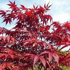 Erable Rouge Du Japon Graines D Erable Du Japon Ou Acer Atropurpurea