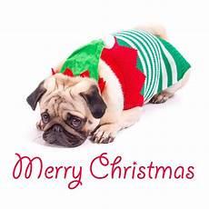 merry christmas pug image of christmas merry 74581534
