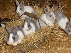 Ausmalbilder Junge Hasen Das Zwergkaninchen Die Idealen Kaninchenrassen Als