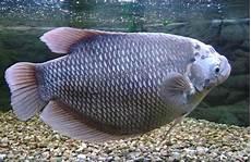Gambar Ikan Gurame Soang Porselen Terbesar Termahal