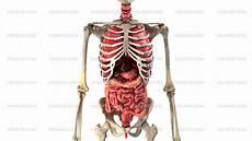 menschliche organe frau 4k human organs in motion loop ready royalty
