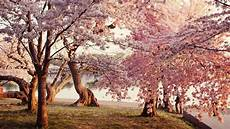 Nature Cherry Blossom Laptop Wallpaper cherry blossom desktop wallpapers wallpaper cave