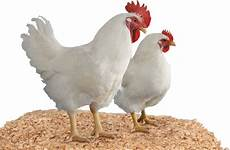 Nama Dan Jenis Ayam Pedaging Ely Setiawan