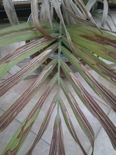 kentia palme braune blätter kentia palme trocken und leblos pflanzenkrankheiten