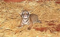 Menggemaskan Bayi Harimau Mungil Lahir Di Australia