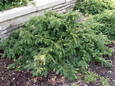 Eibe Taxus Baccata - garden housecalls spreading yew repandens