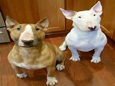 13 facts about bull terrier that everyone should