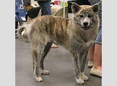 japanese akita   spitz breed dogs   online dog