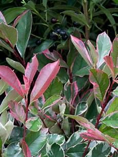 Photinia Fraseri Pink Marble 174 Wei 223 Gr 252 Ne Glanzmispel