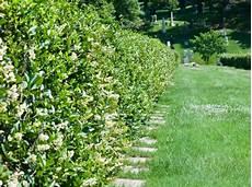 schnell wachsender sichtschutz dichte immergr 252 ne hecken als sichtschutz welche heckenpflanzen