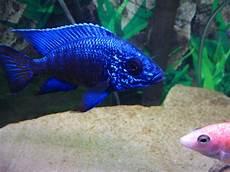 cichlids blue regal peacock