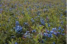 heidelbeeren pflanzen abstand oft blaubeeren standort js74 casaramonaacademy