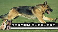 german shepherd breed overview facts traits and