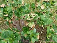 hortensien blätter werden braun hortensie mit welken braunen bl 228 ttern mein sch 246 ner