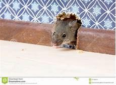 Haus Maus Mus Musculus Kommt In Den Raum Durch Ein Loch