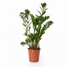 Zamioculcas Zamiifolia Plantimex