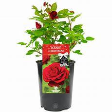 merry christmas rose rose bush free delivery
