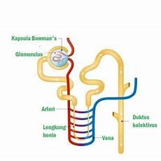 Biologi Gonzaga Latihan Soal Sistem Ekskresi Smp