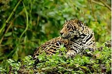 solving the human jaguar conundrum farm by farm the