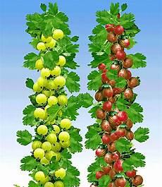 Obstbäume Günstig Kaufen - s 228 ulen stachelbeeren kollektion 2 pflanzen g 252 nstig