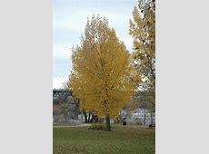 Siouxland Poplar (Populus deltoides 'Siouxland') in Inver