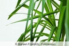 palme umtopfen wurzeln abschneiden yucca palme schneiden wie kann die palmlilie k 252 rzen