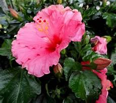 hibiskus chinesischer roseneibisch industrieverband agrar