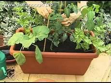 zucchine in vaso l orto in vaso