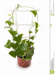 edera in vaso edera in un vaso da fiori fotografia stock immagine di