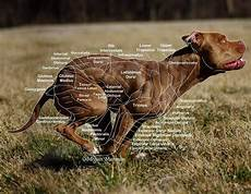 Dog Muscle Chart Muscle Chart By Mnartphotography On Deviantart