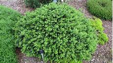 ilex crenata robuste buchsbaum alternative