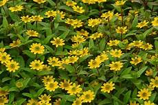 bodendecker gelb winterhart the best drought tolerant ground cover ehow