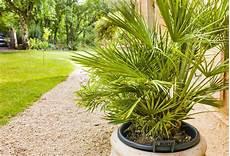pot pour palmier exterieur cultiver un arbre en pot gamm vert