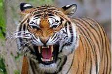 Gambar Harimau Garang Terbaru Gambarcoloring