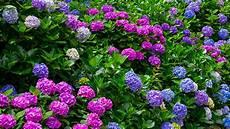 tailler les hortensias photos tailler hortensias gamma be