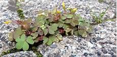 klee im rasen beseitigen klee vernichtungsmittel pflanzen f 252 r nassen boden
