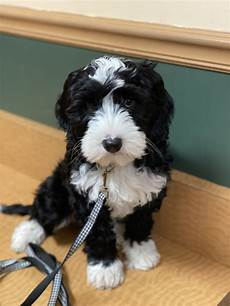 black labradoodle haircuts black and white australian labradoodle in 2020 with images black labradoodle labradoodle