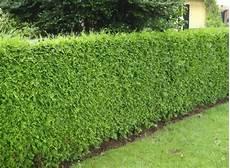 thuja hecke pflanzen buy thuja plicata atrovirens hedge plants thuja