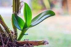 vanda orchidee vermehren 187 so wird s gemacht