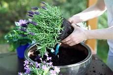 lavendel im topf überwintern lavendel im topf pflanzen lavendel f 252 r terrasse balkon