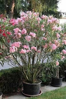 Oleander Draussen überwintern - oleander 252 berwintern mein sch 246 ner garten
