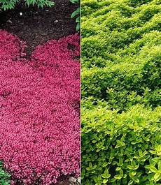 winterhart bodendecker thymian kollektion rot und gr 252 n 6