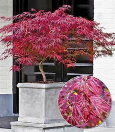 japanischer ahorn burgund bei baldur garten f 228 cherahorn
